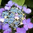 紫陽花☆綺麗!