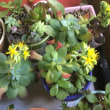 多肉植物に花が咲きましたぁ