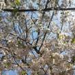 遅咲きの桜?!