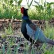 ニンニク畑に雉