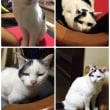 愛猫チビヲ
