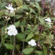 ブライダルベールの花は