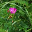 梓川沿いの花2
