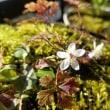 バイカオウレン咲いた。