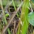 オオカマキリがセミ・カナヘビがサトクダマキモドキの捕食などの初見シーンを・・・
