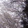 山桜と下生え