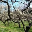 茨城県水戸市の偕楽園2019年の春・・梅花約7分咲き