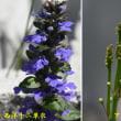 紫蘭が咲き出した