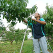 桃の摘果作業 果樹農家 阿部さん
