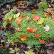 【募集】秋の茶摘み・紅茶作り+紅葉の安倍川源流トレッキング