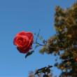 12月の薔薇  カンパネラ