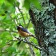 日々是探鳥~ヤマガラ 早朝の森に響き渡る...part 412