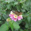 感謝行とセセリ蝶の結婚