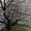 さくら、さくら、安曇野の桜