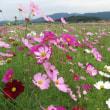 古代の山の変わらぬ中に今コスモスは咲く 藤原宮跡