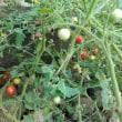 遅植えのトマトの実