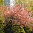 北海道庁で八重桜が咲いている!