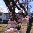 【梅】メゾングッチ周辺の梅...咲く