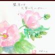 猛暑の中 芙蓉の花がやさしい