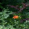 フルートレッスン ヤブカンゾウが咲いた