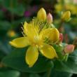 初夏に咲く良く似た黄色の花