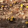 2月中旬過ぎの砧公園で(2)ハクバイ、コウバイ、ミスミソウ、フクジュソウ