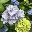 高幡不動尊の紫陽花。