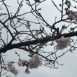 Cherry blossoms started to bloom.