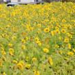 今治市朝倉では真冬でもひまわりが咲いています
