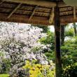 2018 桜開花 その2 -京都の桜ー