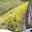 ヤット雨が止んではれに成ったので稲刈りをしました。