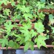 今季のコットン栽培も終盤:コットン成長日記