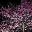 掛川桜:夜桜見物