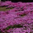 京都市上鳥羽浄水場の藤一般公開(4月28日)