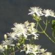 川の近くの小さな林にセンニンソウの白い花