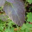 紫色になった葉っぱ
