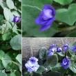 セントポーリアの花は