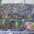 トウモロコシ・カボチャ発芽
