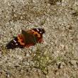 石崖蝶と赤立羽