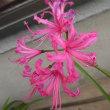 「ネリネ」マンセリーの開花