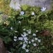 ●我が家の3月の花(8) 雪割草 福寿草 フキノトウ(フキ味噌、天ぷらにしました)バイカオウレン キクザキイチゲ