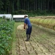 自然菜園スクール「不耕起の稲刈り」