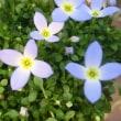 ヒナソウの花は