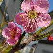 廻るもの 季節の花 梅