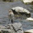 カワセミ ハクセキレイ 幼鳥