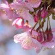 河津桜。。。。。