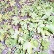 季節外れのヤマブドウ