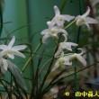 我が家の白花セッコク