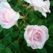 9月下旬の薔薇