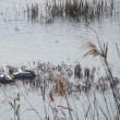 白鳥眠る池